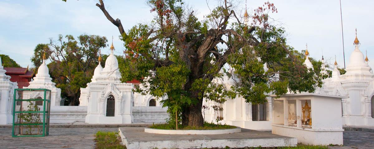 Myanmar-Mandalay-Ku_Tho_Daw_Pagoda_Bodhi_Tree