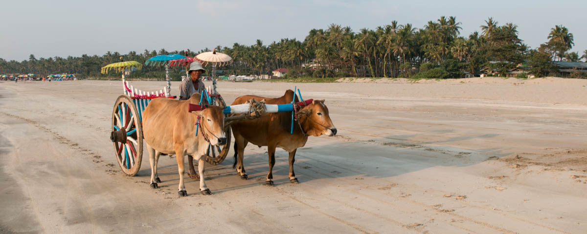 Myanmar - Ngwe Saung - Ox Cart